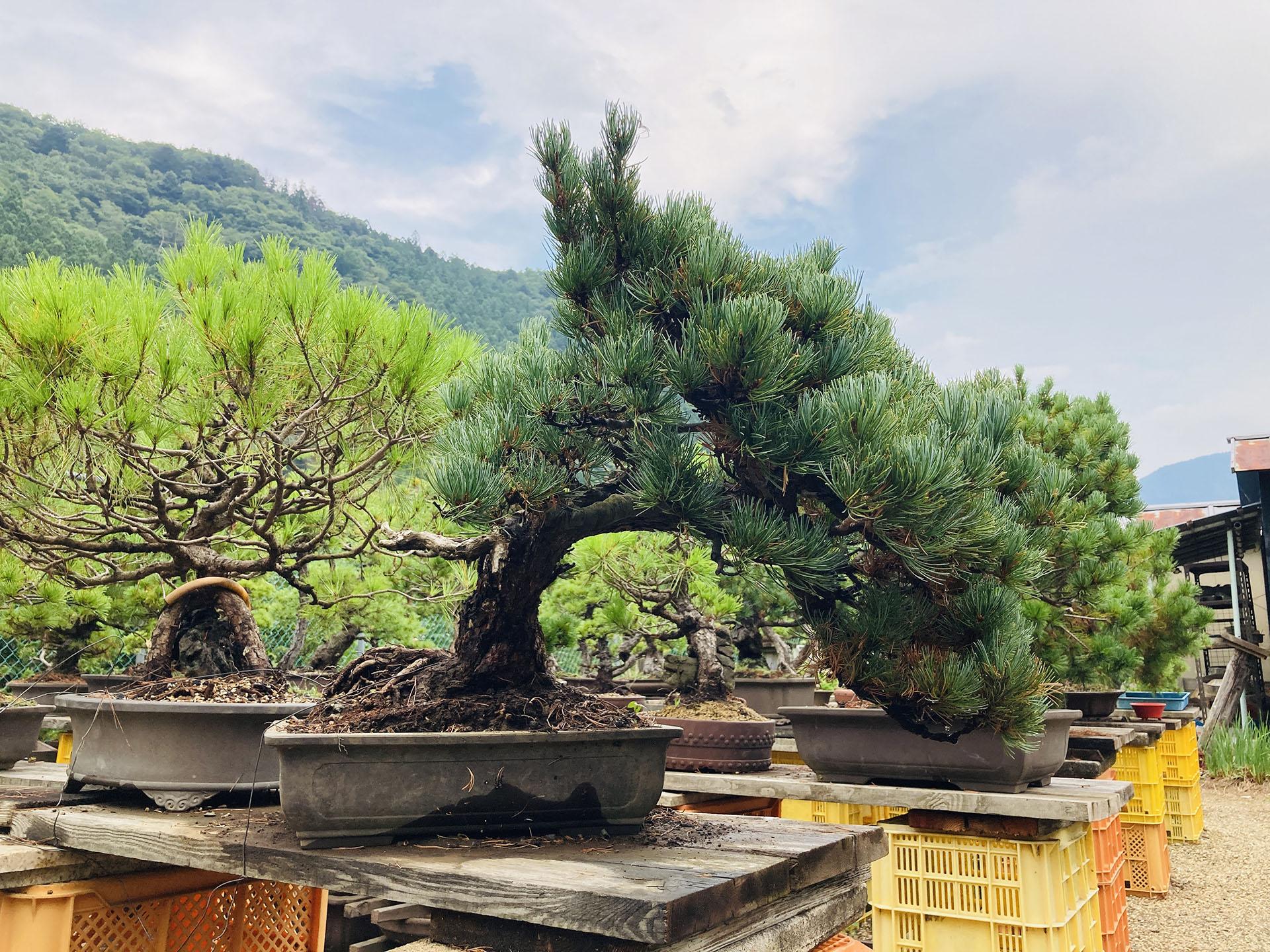茂木盆栽園